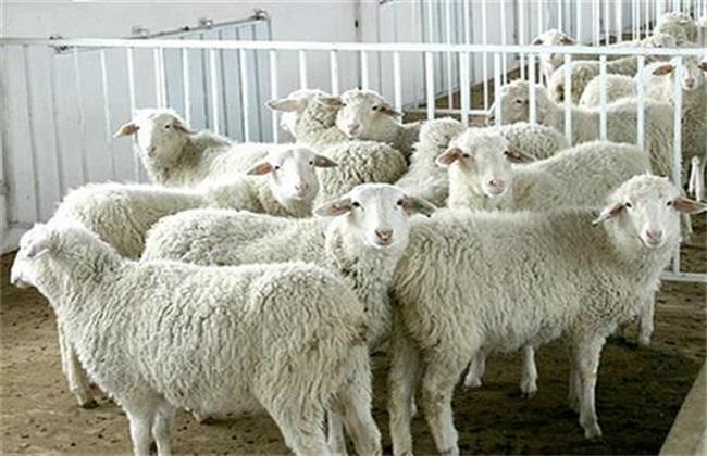 绵羊圈养有什么优缺点