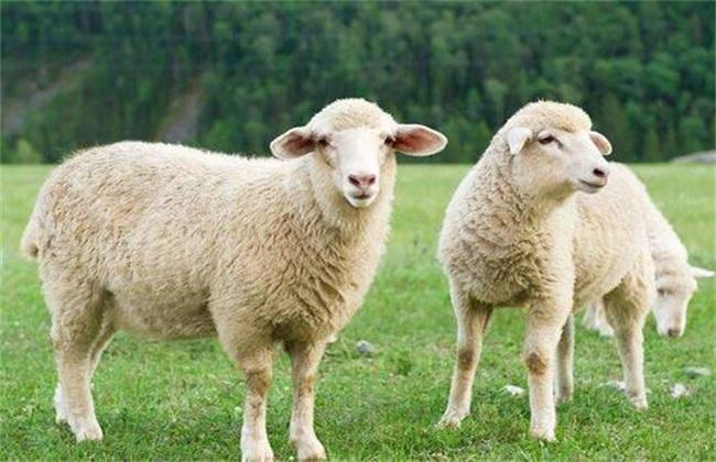绵羊圈养 有什么优缺点