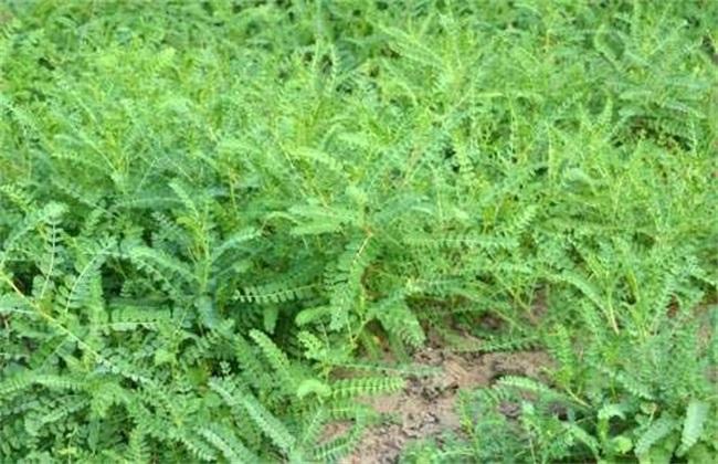 黄芪 种植要点