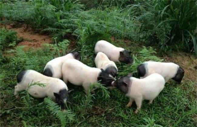 香猪 养殖风险