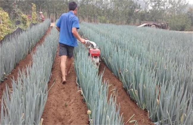 大葱培土方法和注意事项