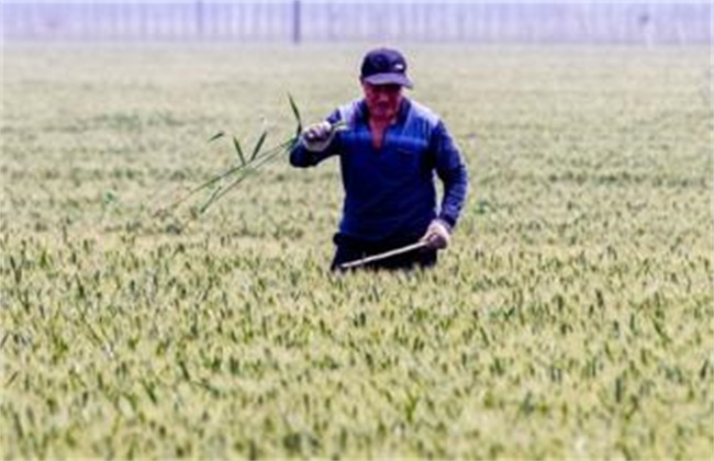 小麦品种混杂退化原因及防治方法