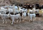绵羊圈养怎么才长得快