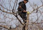 苹果树冬季修剪注意事项