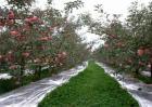 苹果园铺反光膜方法及注意事项