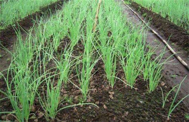 洋葱育苗 主要问题