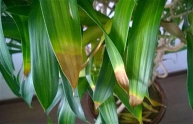 百合竹 叶子发黄掉落 怎么办