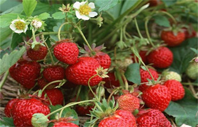 草莓蚜虫的防治措施和注意事项