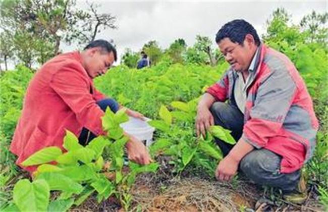 桑树施肥管理技术图片