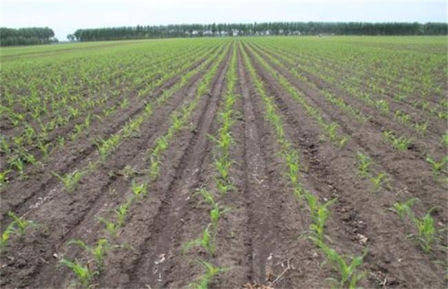 甜玉米的苗期种植管理技术