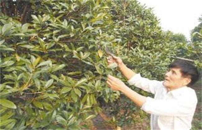 桂花树 修剪时间 方法