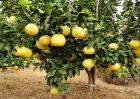 如何提高柚子的甜度