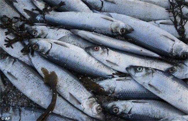 青鱼批量死亡原因