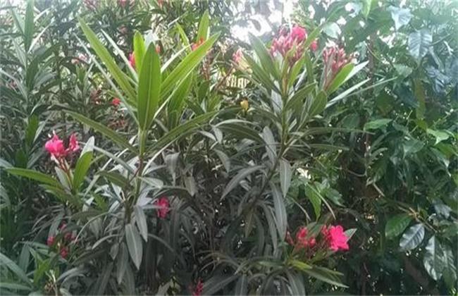 夹竹桃繁殖方法