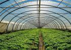 大棚蔬菜控旺技术