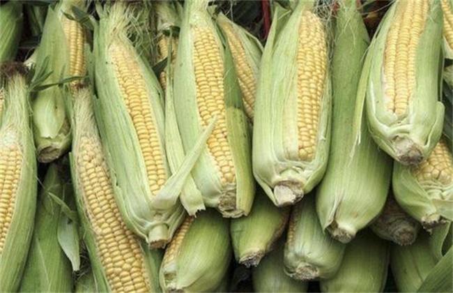 甜玉米 种植技术