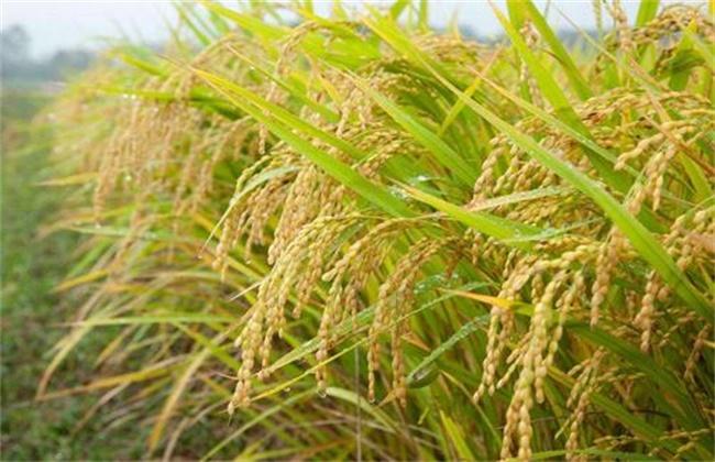 水稻 需肥规律