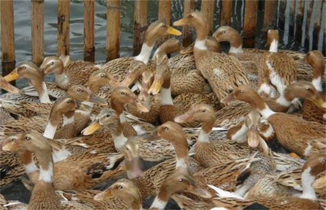 蛋鸭养殖风险