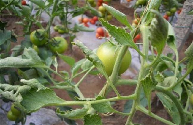 番茄 叶片卷曲 原因