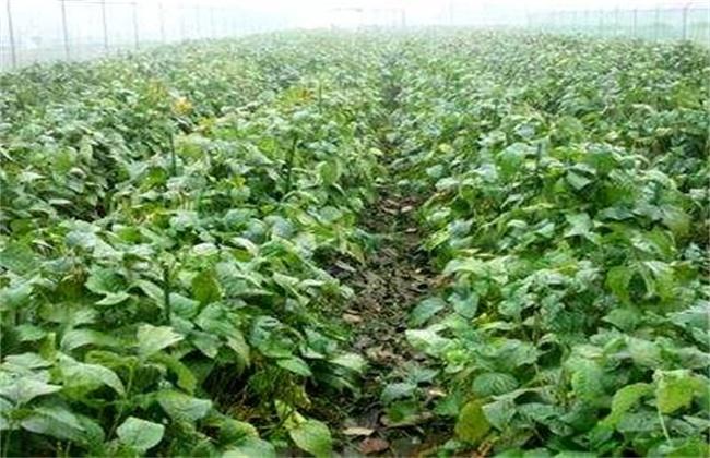 大豆促早熟技术