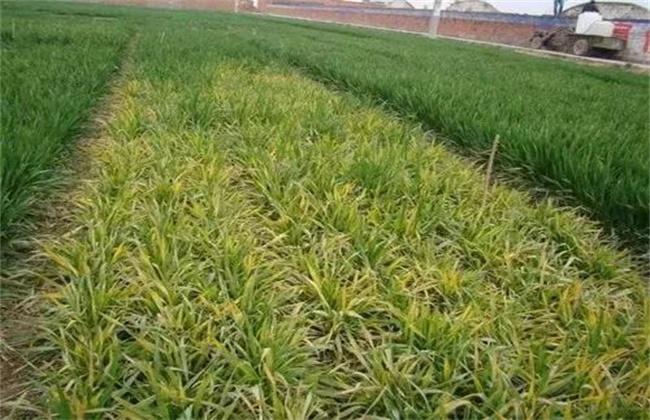 小麦 冬春死苗 怎么办