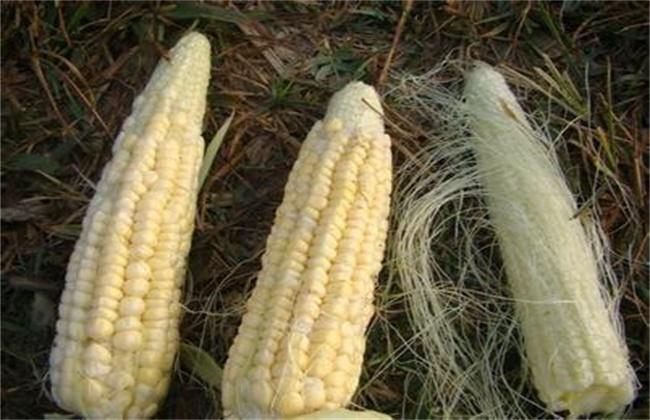 玉米果穗不满尖怎么办