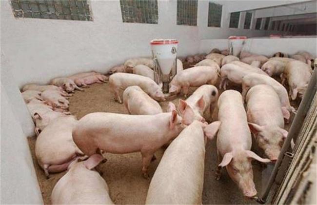 未来养猪 怎样才能赚钱