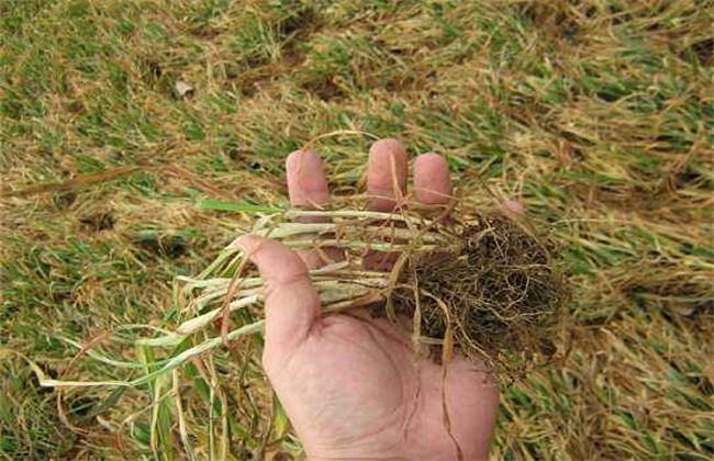 小麦苗叶色异常是什么原因
