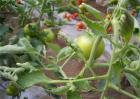 番茄叶片卷曲的原因