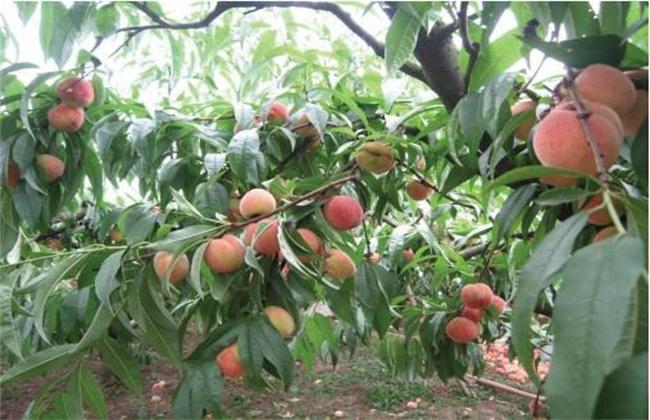 桃树结果部位外移怎么办