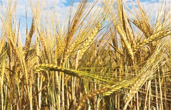 大麦 播种时间 管理