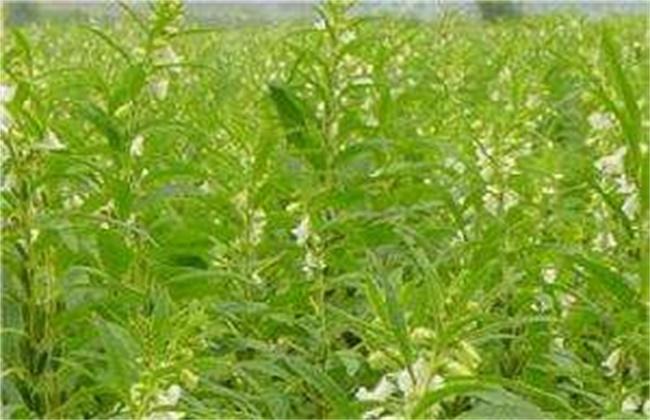 白芝麻的种植技术
