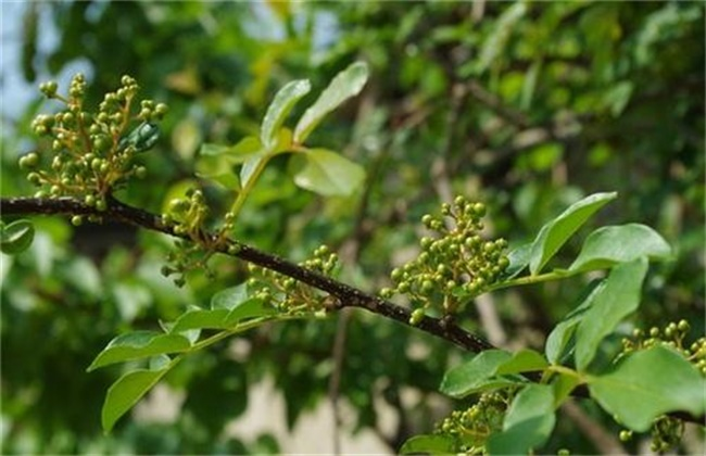 花椒树春季管理技术
