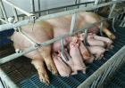 养好母猪的注意事项