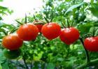 番茄种植管理步骤