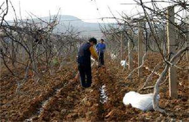 猕猴桃春季施肥技术