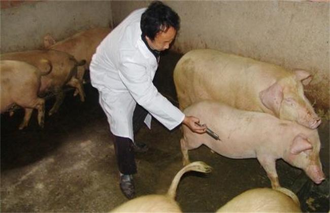 猪疫苗 接种方法