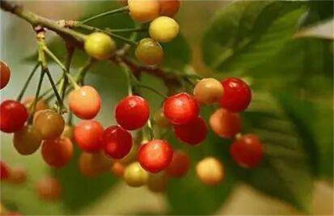 樱桃成熟期落果原因及防治方法