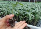蔬菜分苗是如何预防死苗