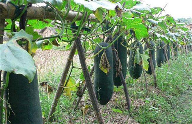 黑皮冬瓜的栽培技术