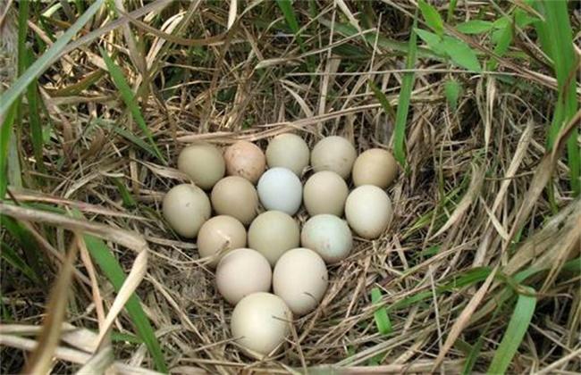 如何提高 山鸡种蛋 孵化率