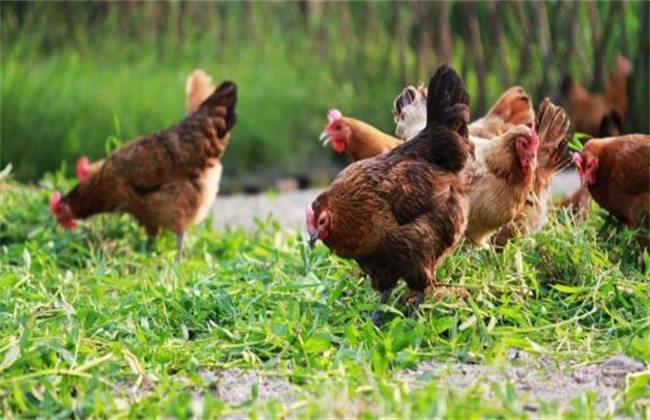 林地养鸡 应注意的问题