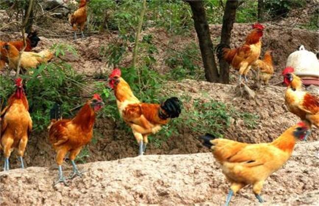 林地养鸡 养殖风险