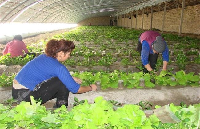 早春蔬菜定植管理要点