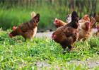林地养鸡应注意的问题
