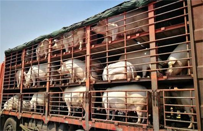 生猪长途运输注意事项