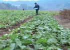 油菜春季施肥技术