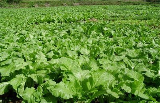 生菜 露地栽培 技术要点