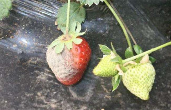 大棚草莓烂果怎么办