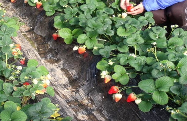 草莓春季管理注意事项